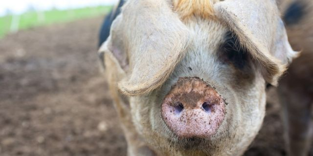 Spot - one of our breeding sows